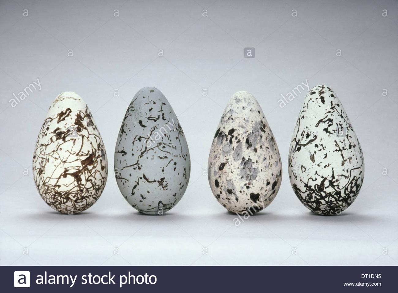 Fondazione occidentale di Zoologia vertebrati California USA Common murre uova di uccelli Uria algea istruzione Immagini Stock