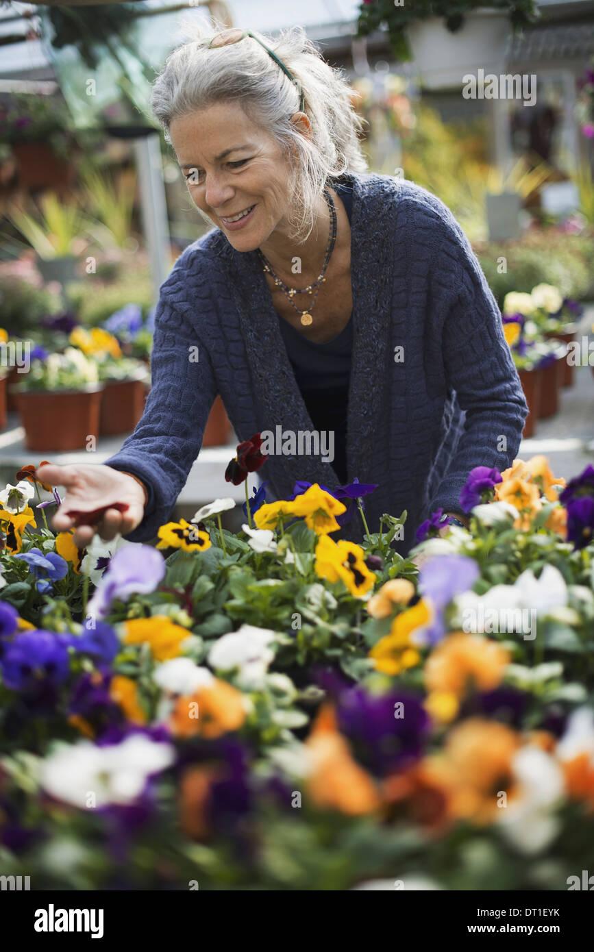 Una donna che lavorano tende di piante fiorite su un banco in un cassonetto una casa di vetro Immagini Stock