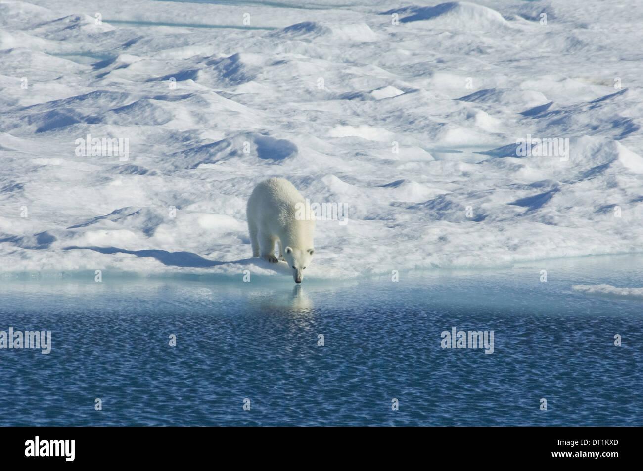 Orso polare nel selvaggio un potente predatore e un vulnerabili o potenzialmente le specie in via di estinzione Immagini Stock