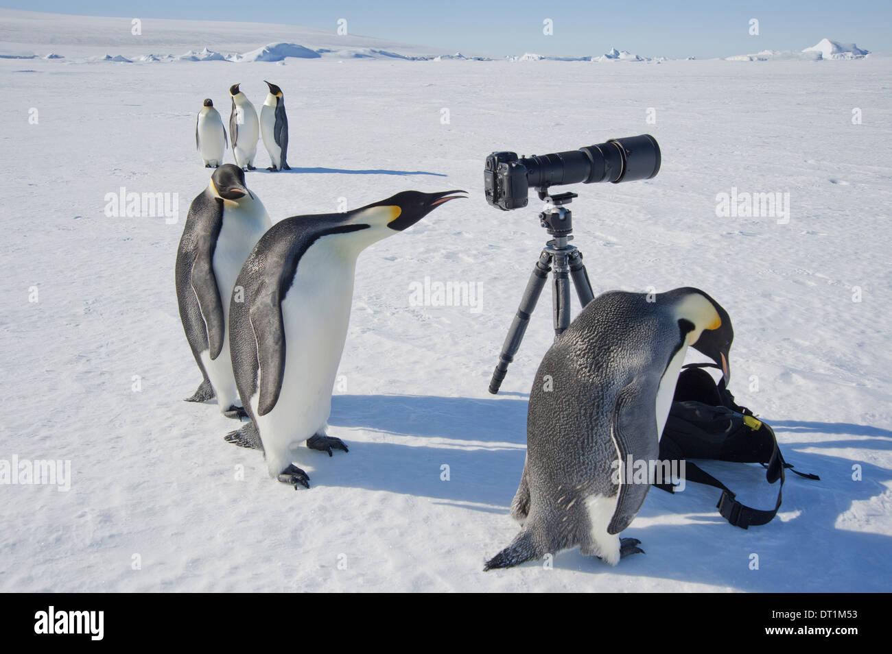 Un piccolo gruppo di curiosi pinguini imperatore guardando la fotocamera e treppiede sul ghiaccio un uccello del peering attraverso il mirino Immagini Stock