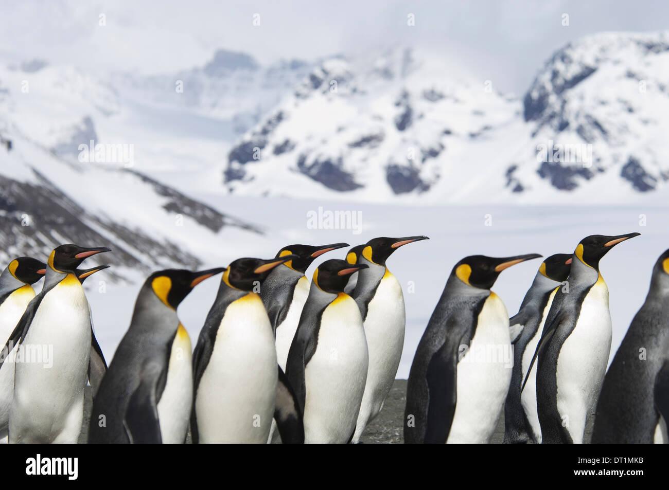 Un gruppo di pinguini re Aptenodytes patagonicus sull Isola Georgia del Sud Foto Stock