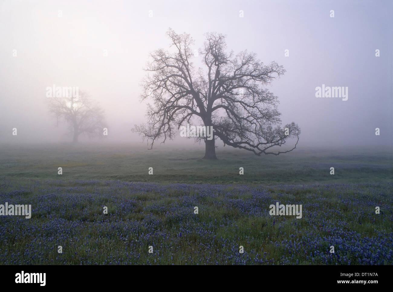 Alberi di quercia nella nebbia di mattina presto in California Immagini Stock
