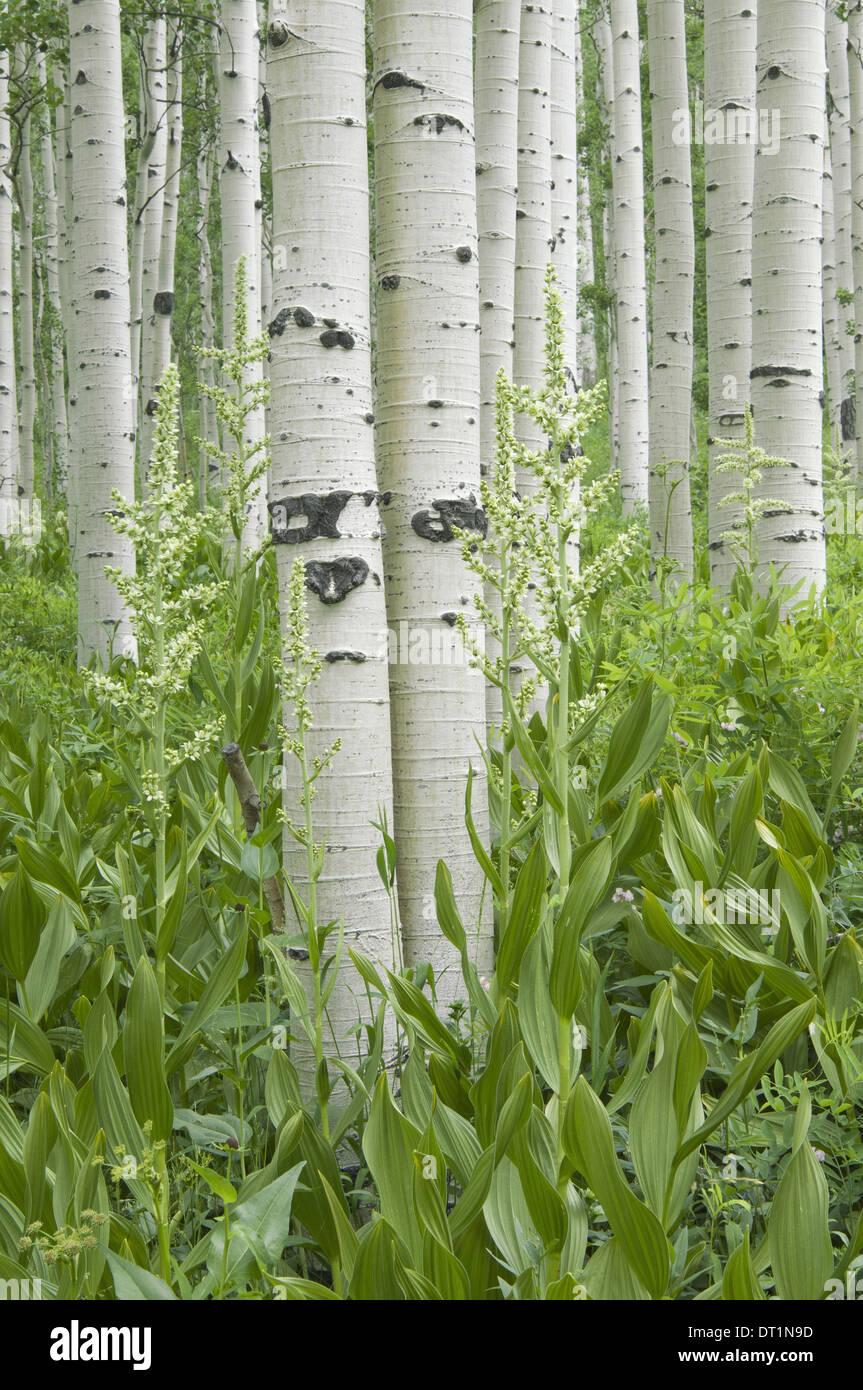 Boschetto di alberi di Aspen con corteccia bianco e fiori selvatici che crescono in loro ombra Immagini Stock