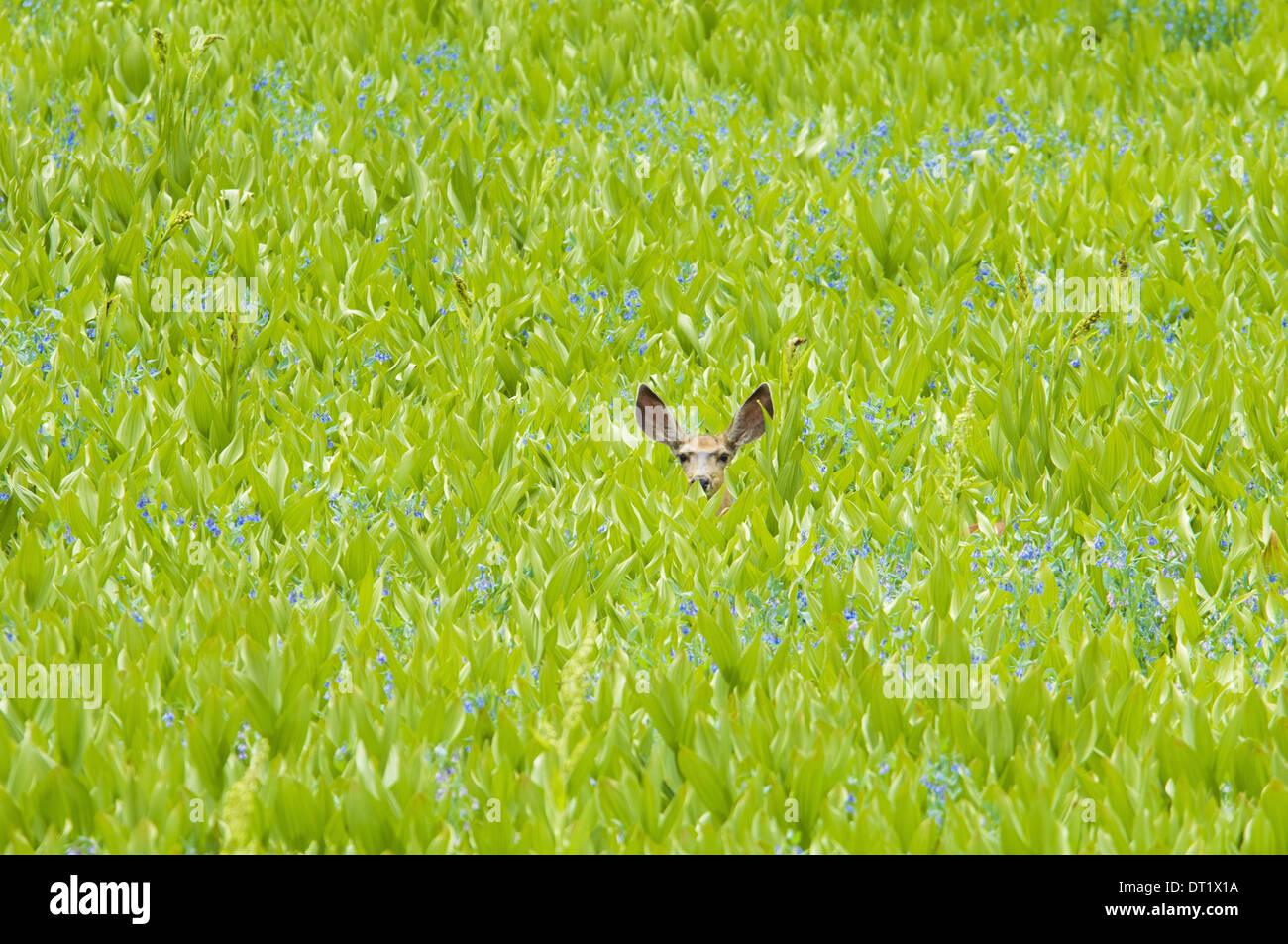 Un mulo cervo nascosto in un campo di fiori selvatici e piante veratro nero orecchie visibili Immagini Stock