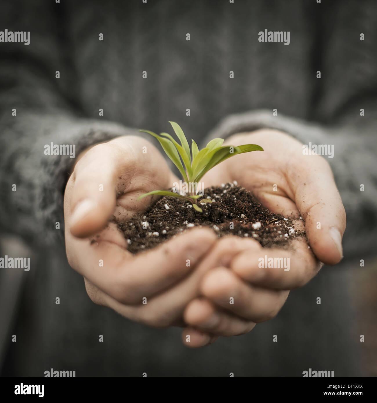 Una persona in una serra commerciale tenendo una pianta piccola piantina nelle sue mani a tazza Immagini Stock