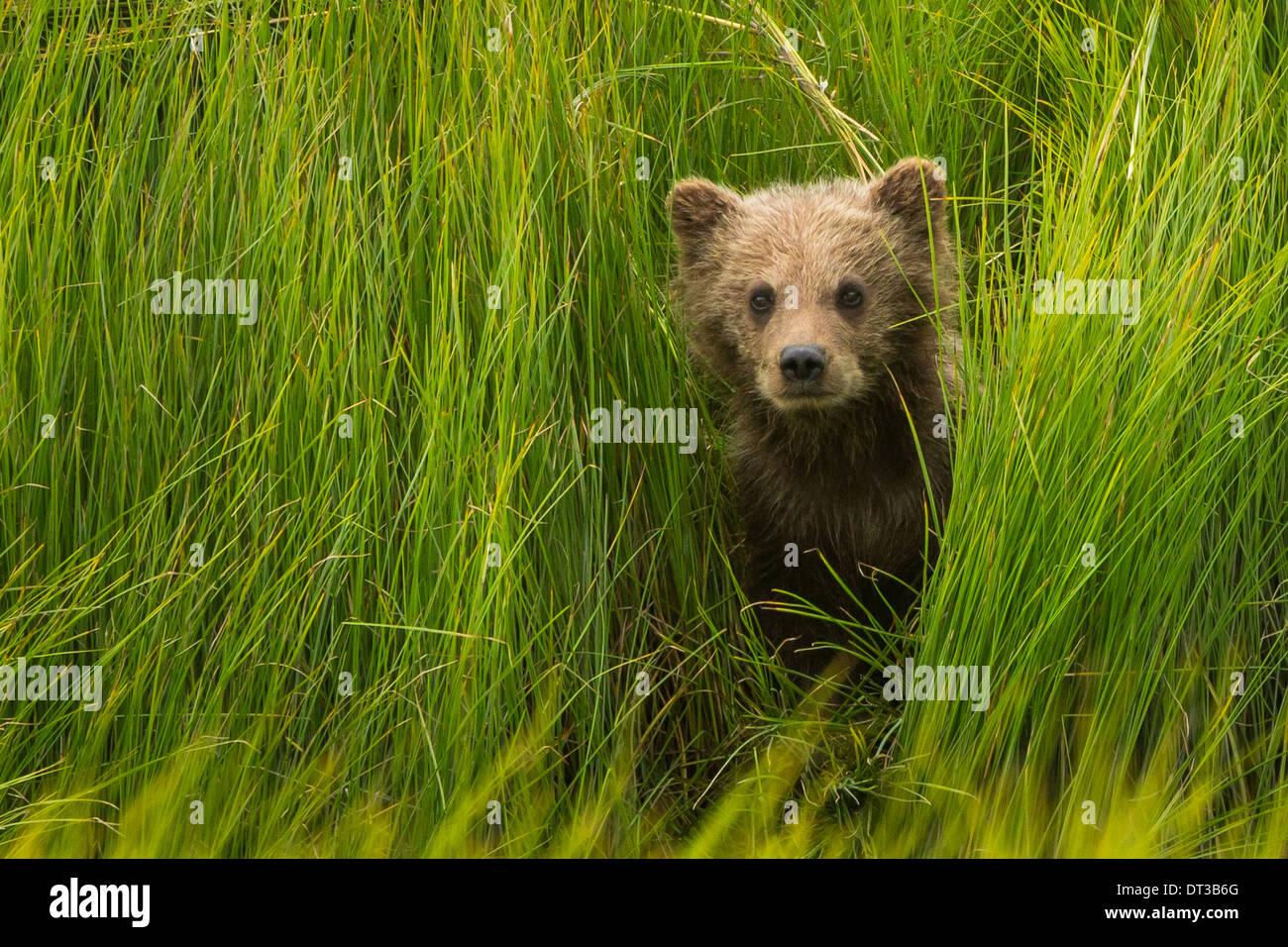 Brown Bear Cub, il Parco Nazionale del Lago Clark, Alaska, STATI UNITI D'AMERICA Immagini Stock