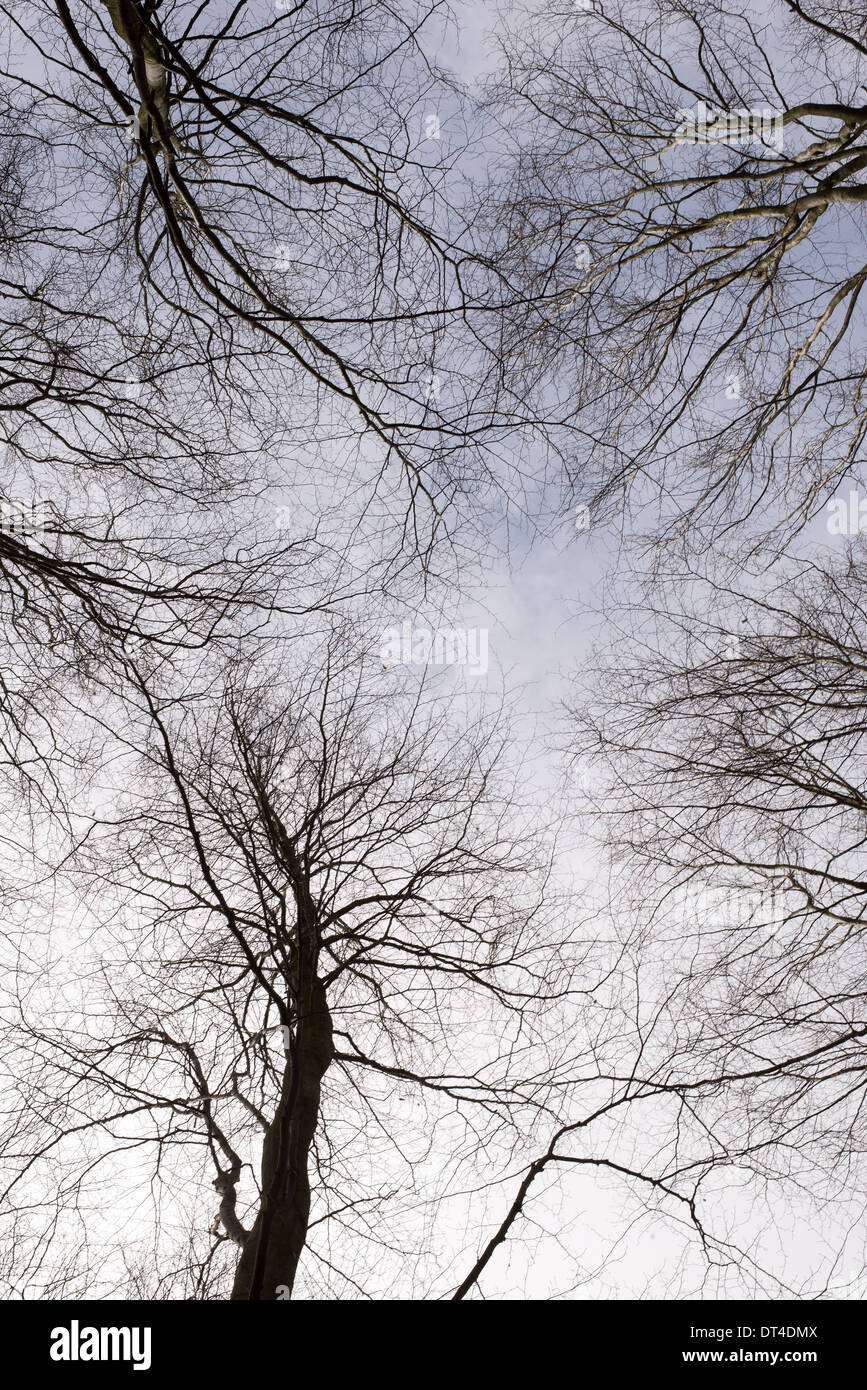 Faggio decidue foresta come visto dal di sotto in inverno senza foglie Immagini Stock