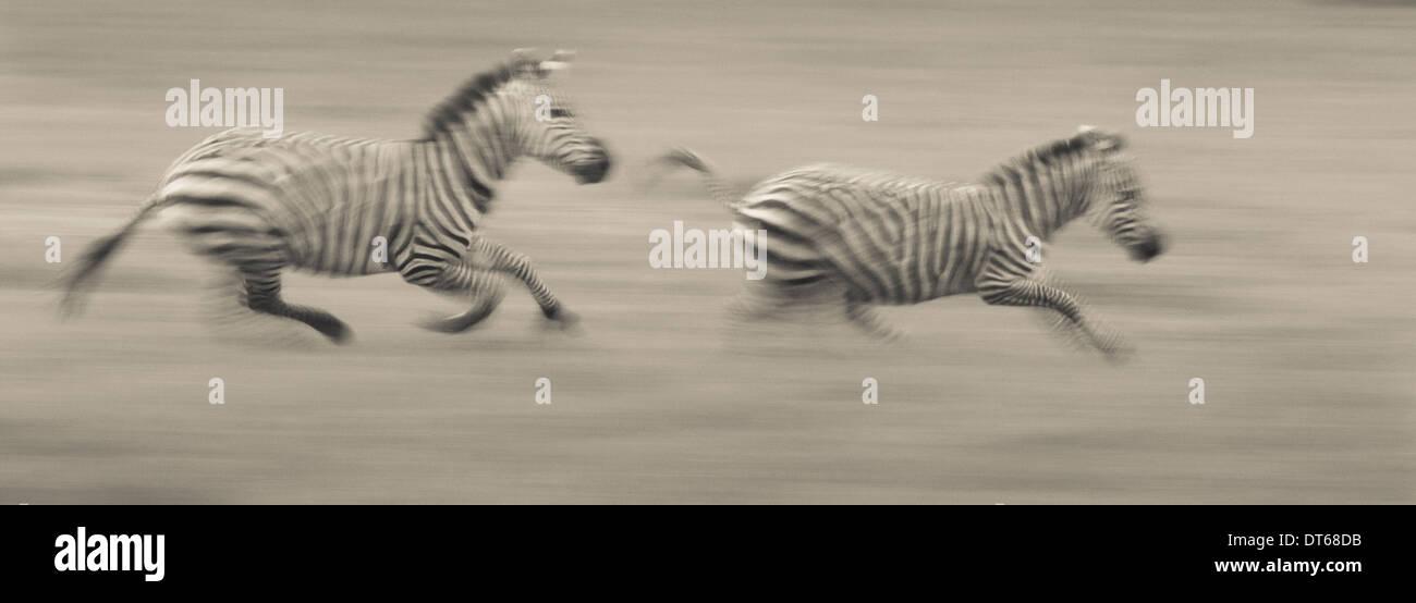 Due pianure zebre racing attraverso il terreno per la Ngorongoro Conservation Area, Tanzania Immagini Stock
