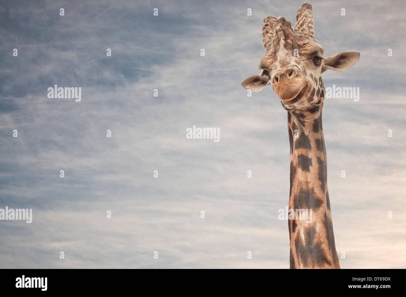 Close up ritratto della giraffa Immagini Stock