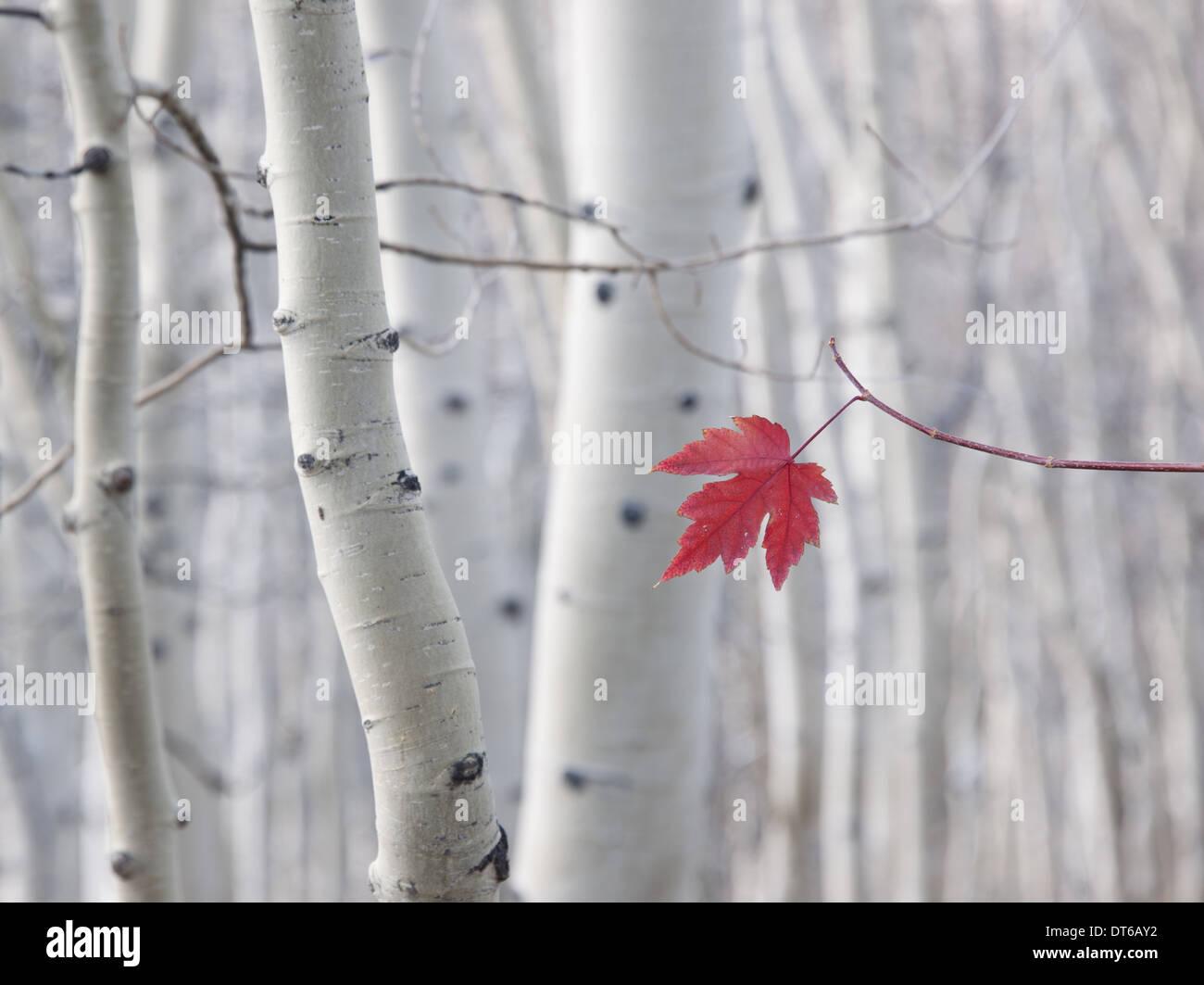 Un singolo rosse foglie di acero in autunno, contro uno sfondo di Aspen Tree trunk con crema e bianco corteccia. Wasatch National Forest. Immagini Stock