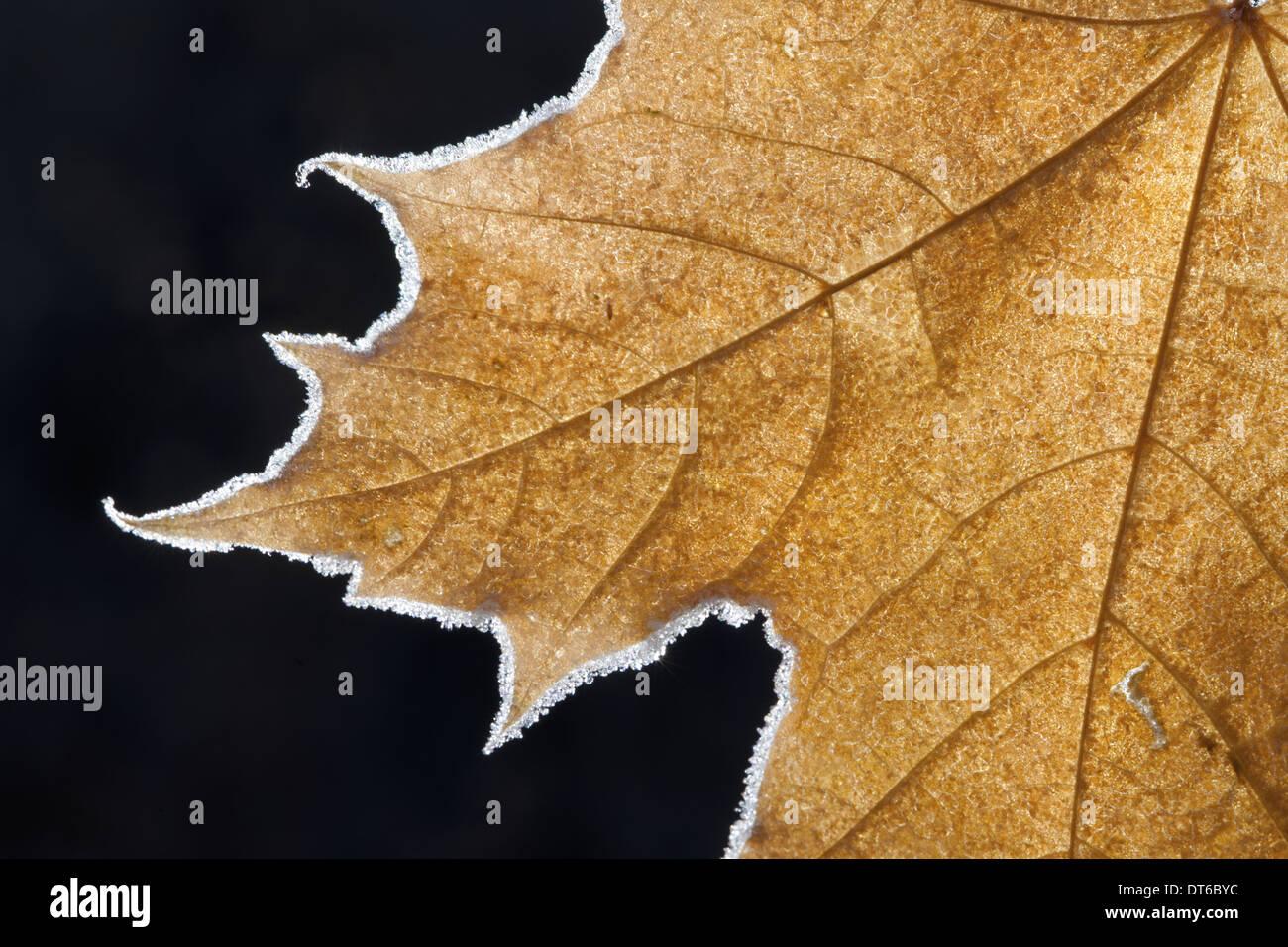 Parte di un satinato marrone Foglia di acero con nervature centrali e distintivo di contorno. Immagini Stock