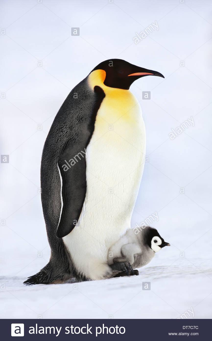 Pinguino imperatore con pulcino su piedi Aptenodytes forsteri Mare di Weddell Antartide Mare di Weddell Antartide Immagini Stock