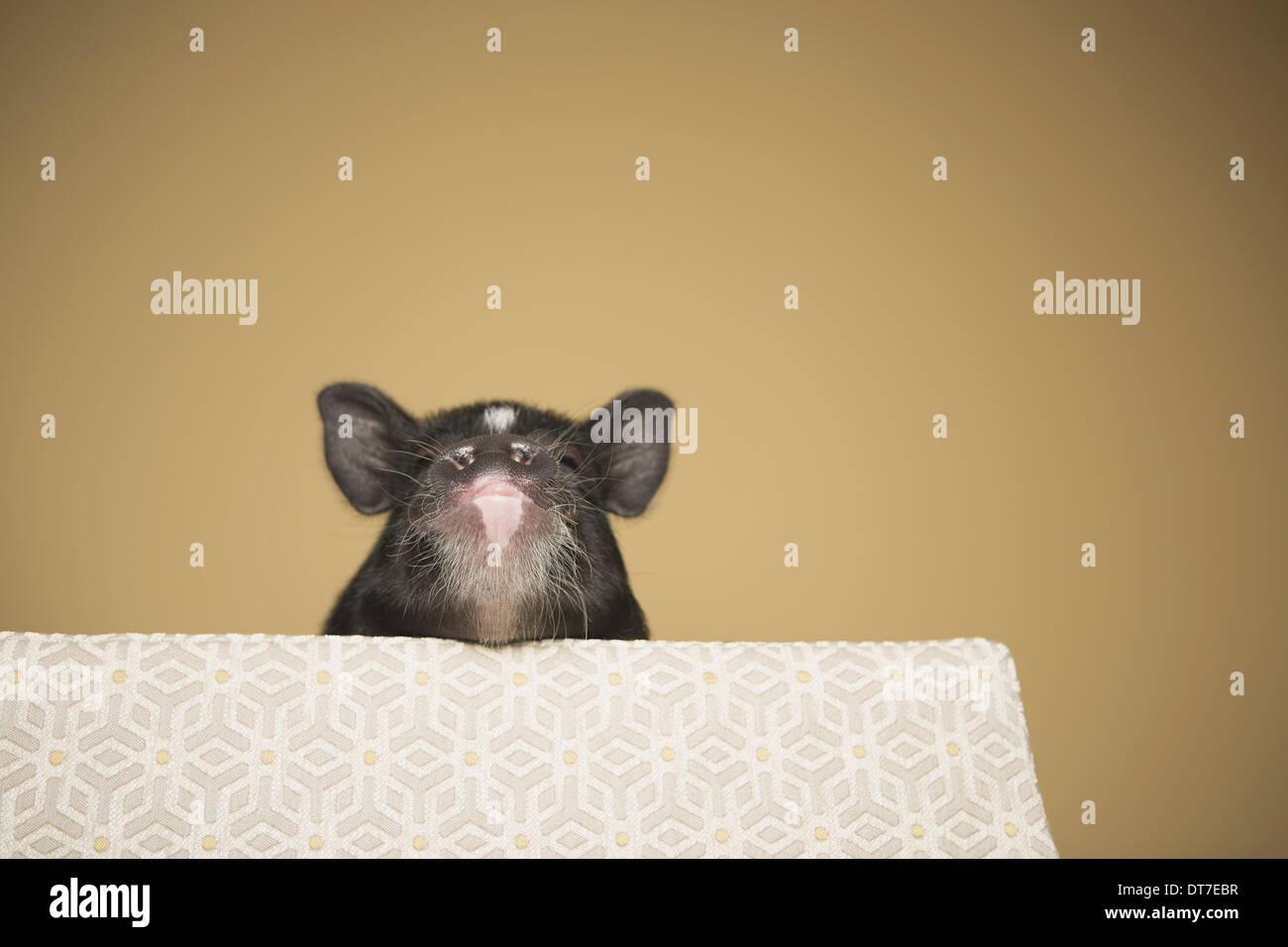 Un piccolo maiale di sbirciare da dietro il bordo di un letto in un ambiente domestico di Austin in Texas USA Immagini Stock