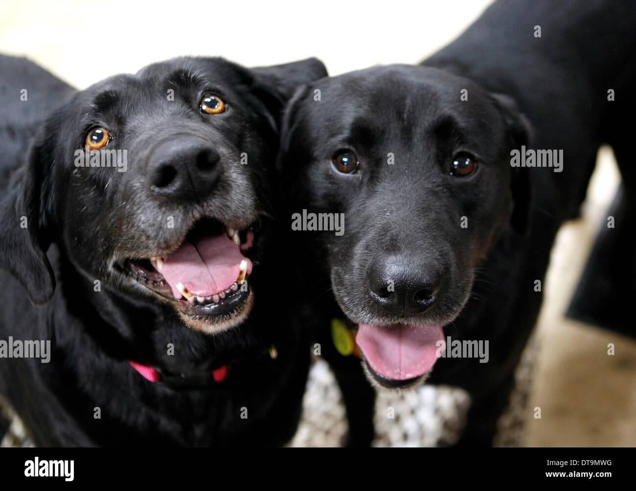 Bartlett, Tennessee, Stati Uniti d'America. 7 febbraio, 2014. Febbraio 7, 2014 - Labrador's Lindsey e Scott hanno trovato una nuova casa dopo essere stato abbandonato in Bartlett. Lindsey (sinistra) è un gigante cicatrice sul suo lato, Scott in molto impauriti. I lavoratori presso lo shelter hanno nutrito i cani torna alla buona salute e ha lavorato sulla loro socializzazione. Angela Klein, un supervisore presso lo shelter, hanno detto di essere difficilmente potrebbe arrivare vicino i cani per due settimane quando sono entrati per la prima volta.Lei ha insistito sul fatto che essere adottate insieme. © Karen Pulfer Focht/l'appello commerciale/ZUMAPRESS.com/Alamy Live News Immagini Stock