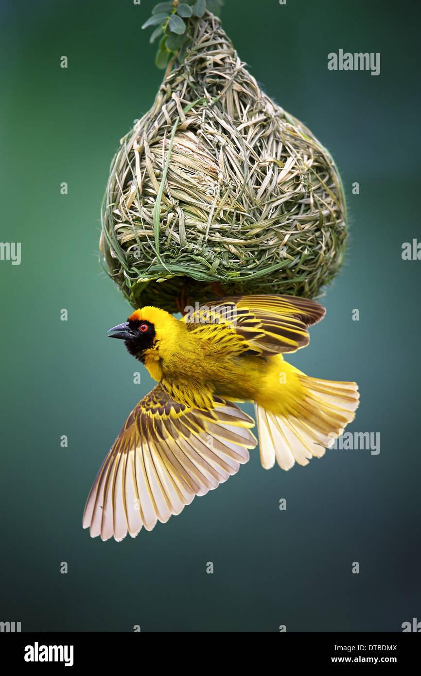 Tessitore mascherato; Ploceus velatus; appeso a testa in giù dal nido; Sud Africa Immagini Stock