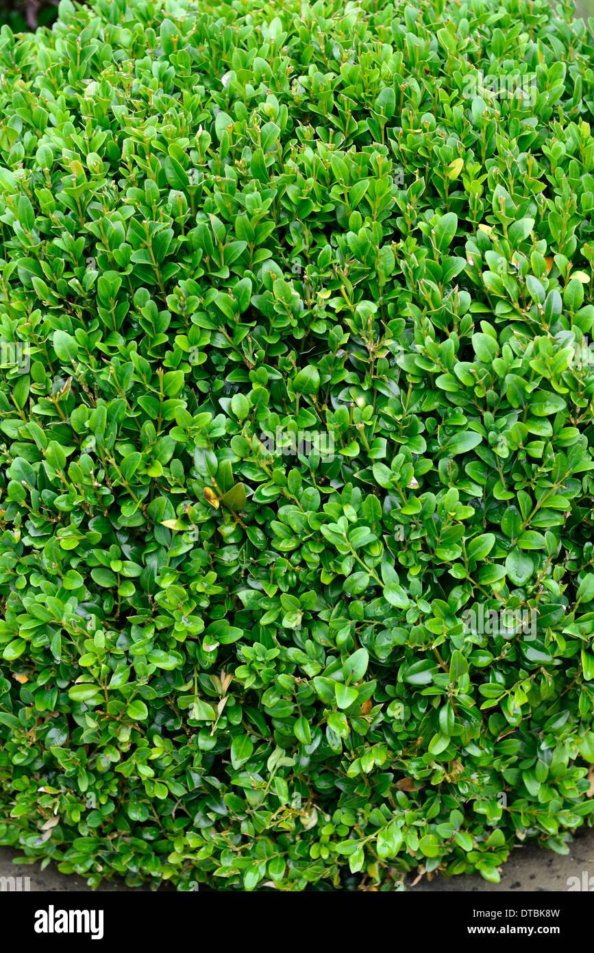 Buxus sempervirens siepe di bosso impianto palla rotonda for Arbusti da siepe