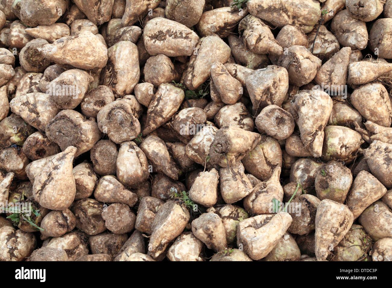 La barbabietola da zucchero, raccolte, Norfolk, Inghilterra raccolto di barbabietole da zucchero agricoltura Immagini Stock