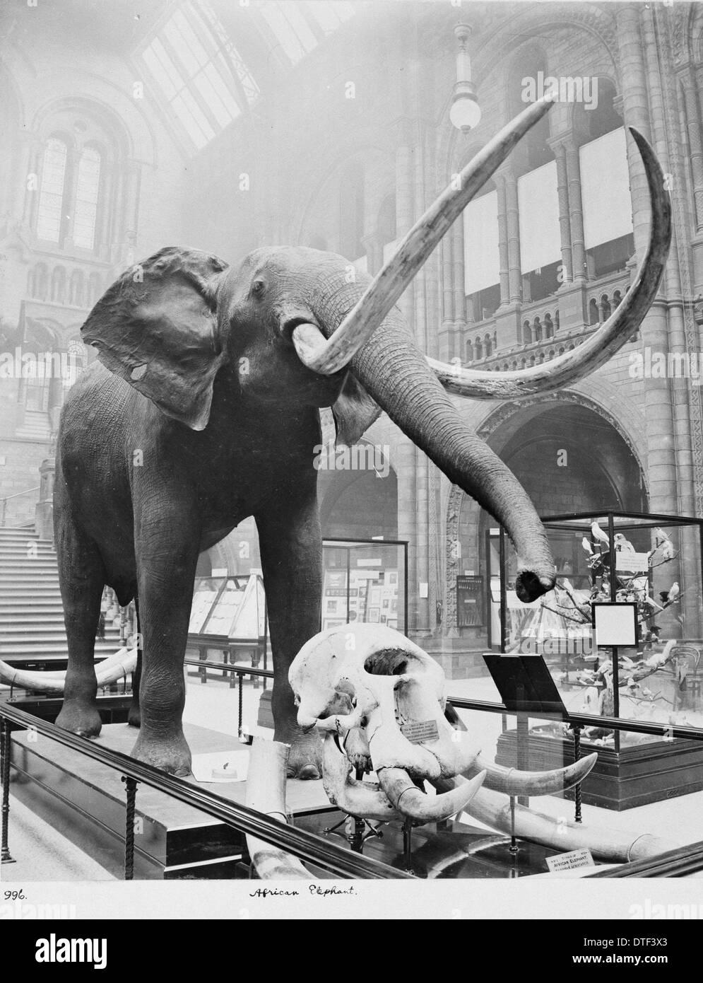 Elefante africano nella sala centrale, Febbraio 1910 Immagini Stock