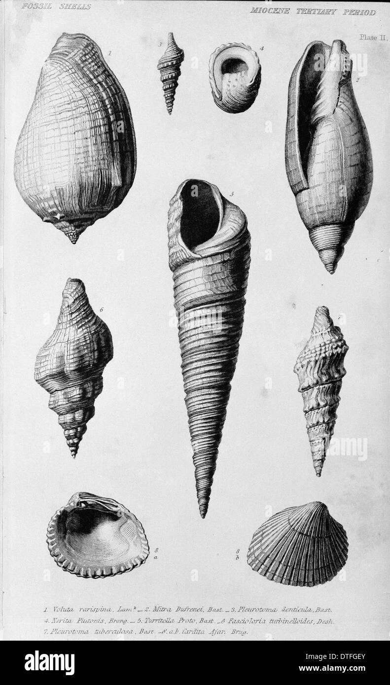 Conchiglie fossili del Miocene periodo Terziario Immagini Stock