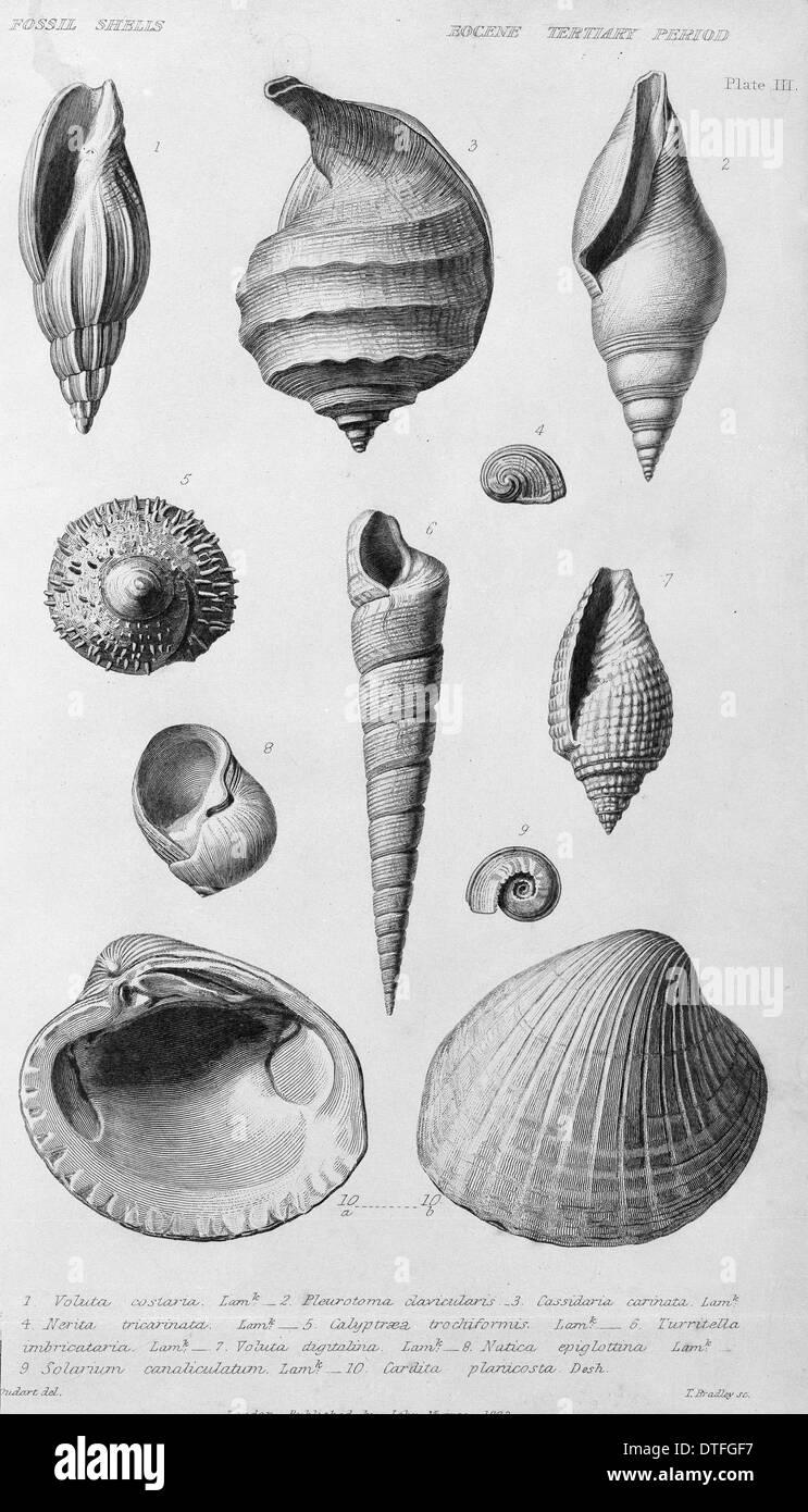 Conchiglie fossili dell'Eocene periodo Terziario Immagini Stock