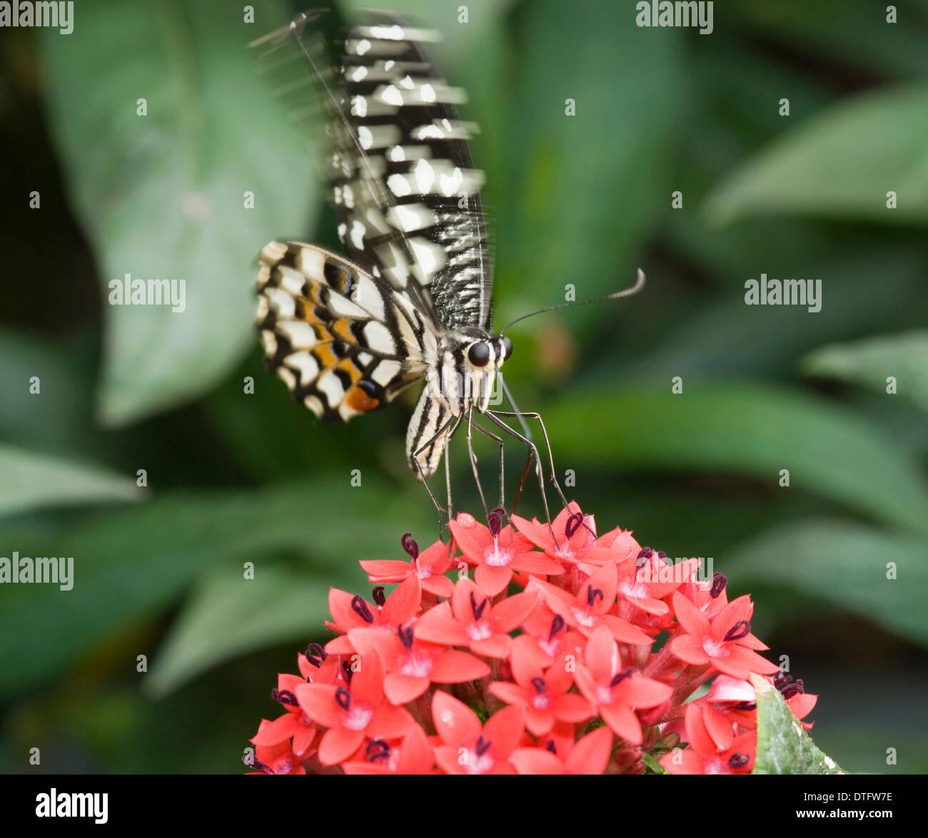 Papilio demoleus, calce butterfly Immagini Stock