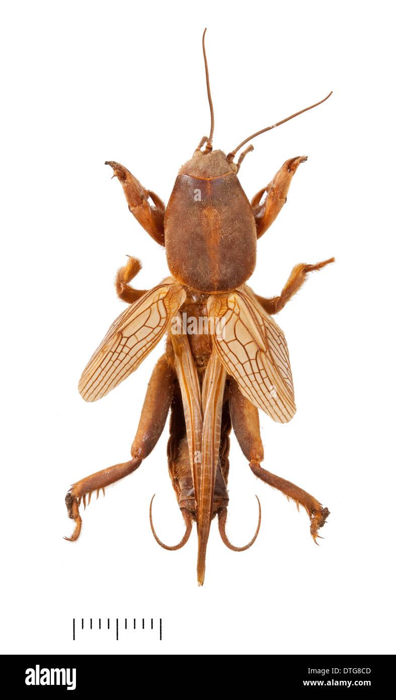 Gryllotalpa gryllotalpa, Mole cricket Immagini Stock