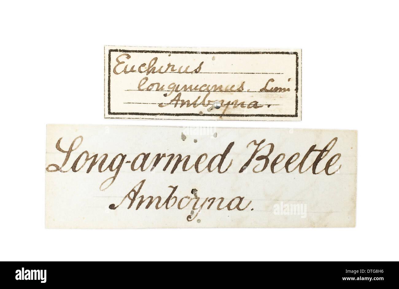 Etichetta per Euchirus longimanus, Wallace lungo del coleottero armati Immagini Stock