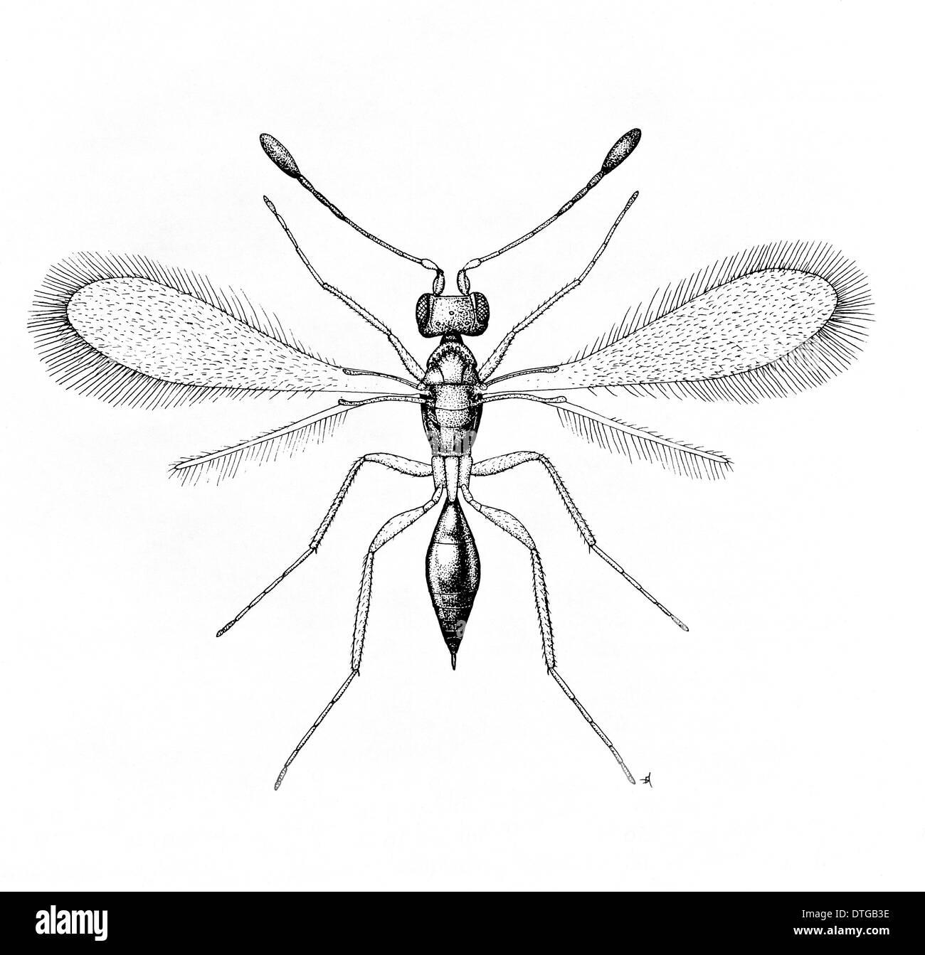 Alaptus magnanimus, fairy fly Immagini Stock