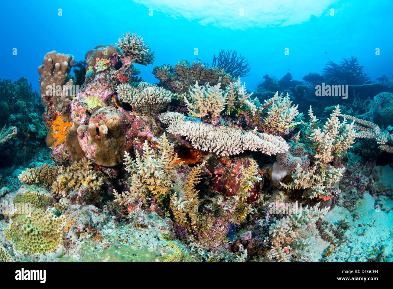 Un sano tropical Coral reef hosting e del piano portapaziente staghorn coralli incrostanti e, spugne colorate con blu chiaro l'acqua. Immagini Stock