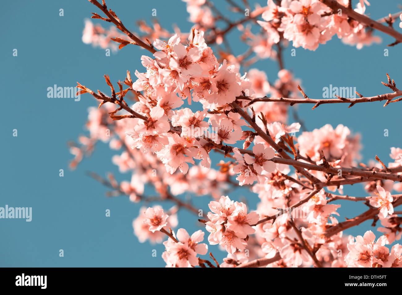Fiori Di Colore Rosa Fioritura Di Pesco In Primavera Luminoso Cielo