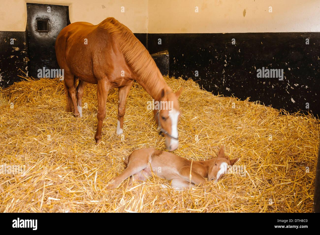 Intimità, di proprietà di Oaklawn prigioniero in Kildare, con un giorno di vecchio puledro neonato. Immagini Stock