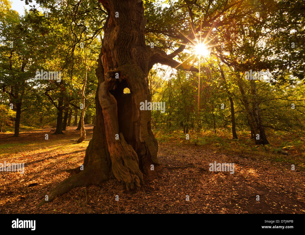 La Foresta di Sherwood alberi Edwinstowe nottinghamshire England Regno Unito GB EU Europe Immagini Stock