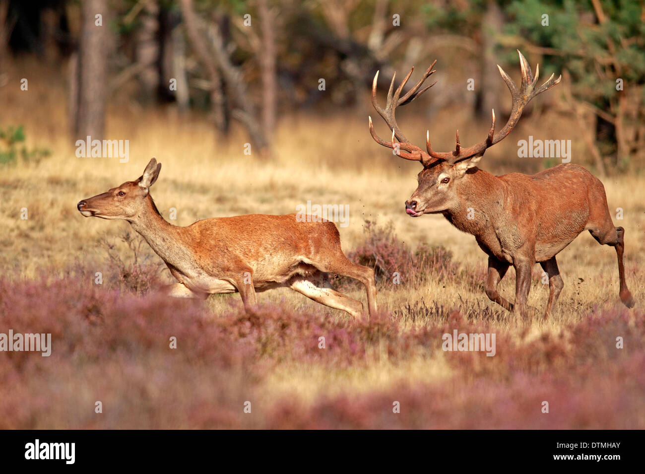 Cervi, maschio e femmina, Hoge Veluwe Nationalpark, Paesi Bassi, Europa / (Cervus elaphus) / rut, solchi stagione Immagini Stock
