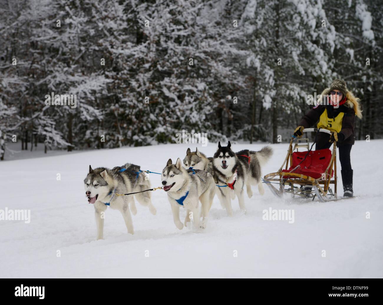 Donna musher passando attraverso una foresta innevata con quattro Huskies in una gara dogsled evento a Marmora Snofest Ontario Canada con coperta di neve alberi sempreverdi Immagini Stock