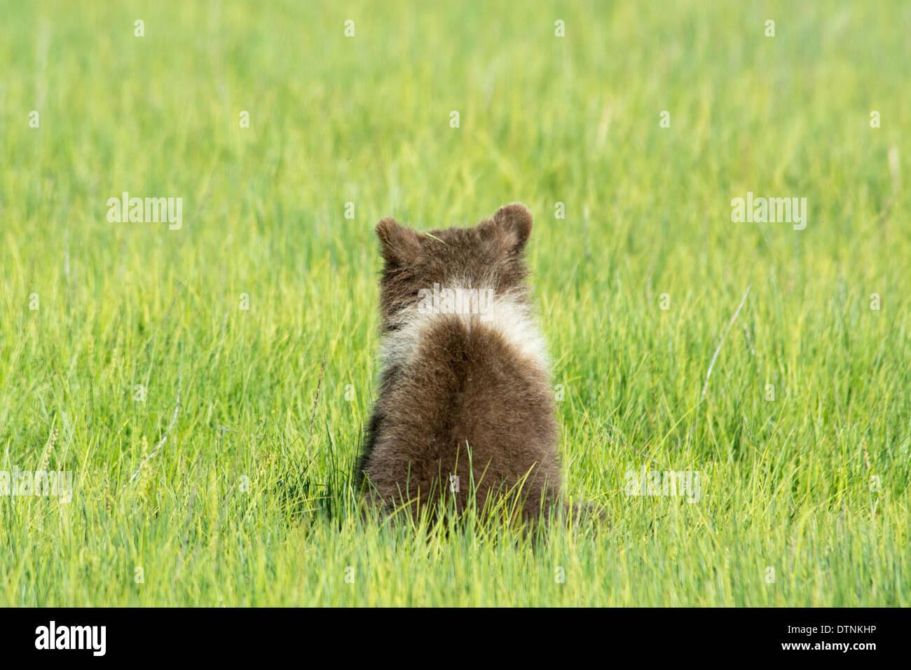 Vista posteriore di un grizzly Bear Cub, Ursus arctos, mostrando un collare bianco intorno al suo collo, il Parco Nazionale del Lago Clark, Alaska, STATI UNITI D'AMERICA Immagini Stock