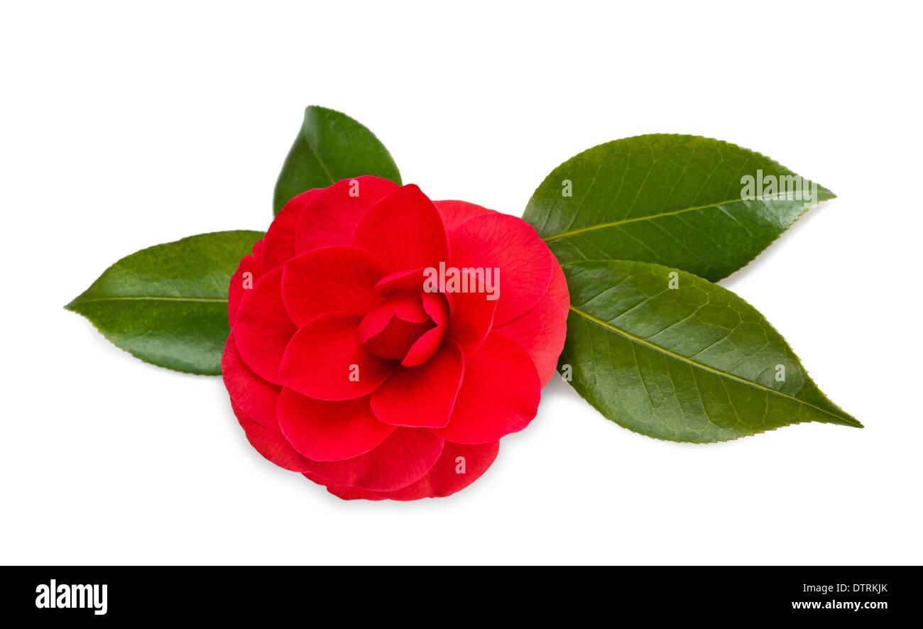 Red camellia isolato su bianco Immagini Stock