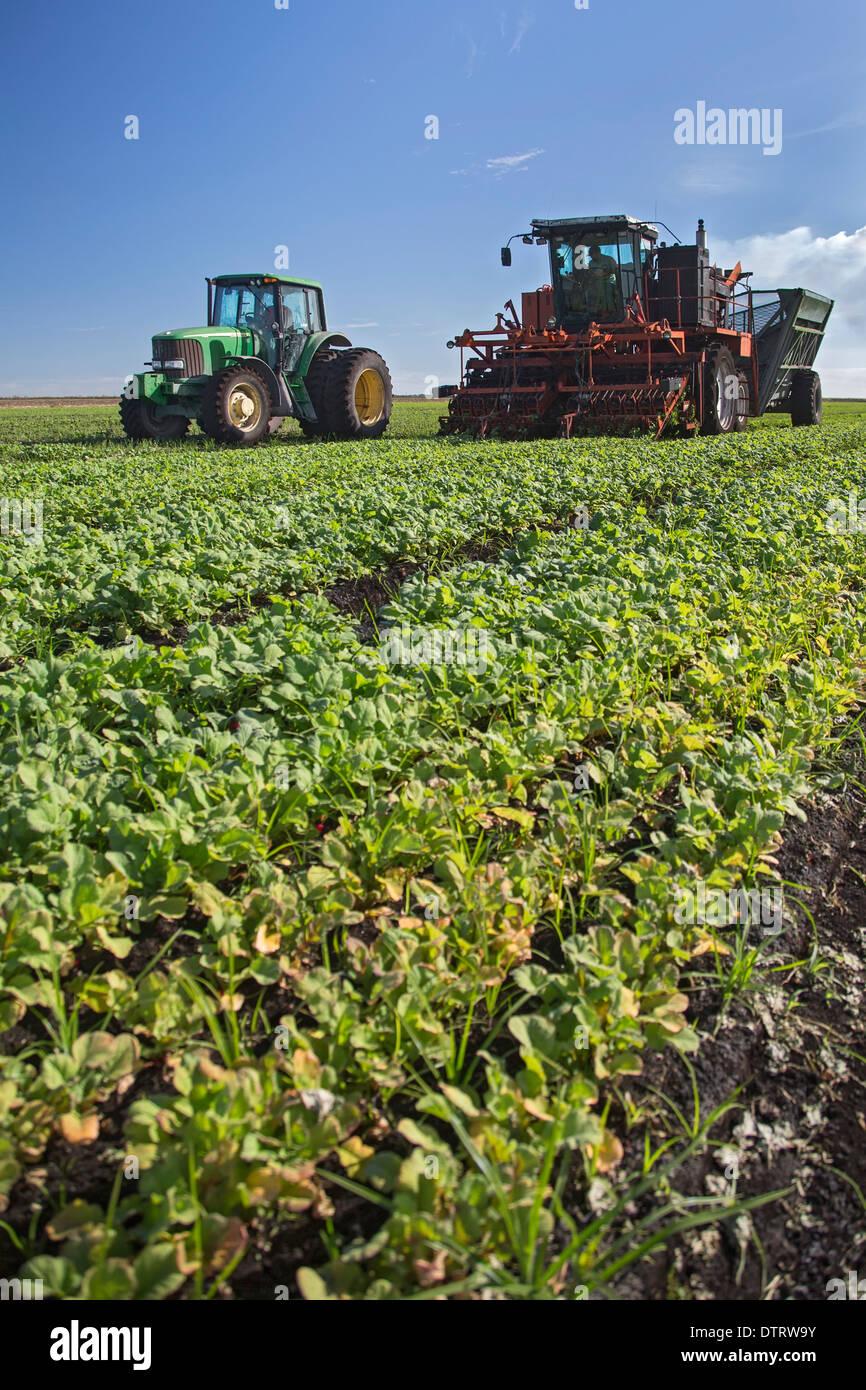 Belle Glade, Florida - Lavoratori La guida delle macchine agricole ravanelli raccolto presso le aziende agricole Roth. Immagini Stock