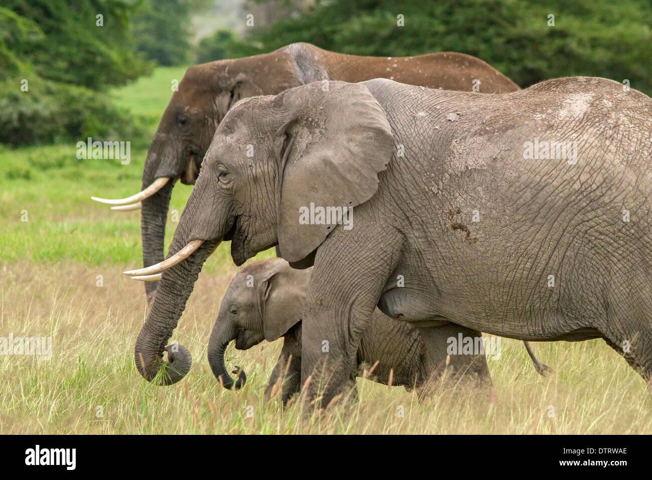 Un elefante africano famiglia in Amboseli National Park, Kenya, Africa Foto Stock