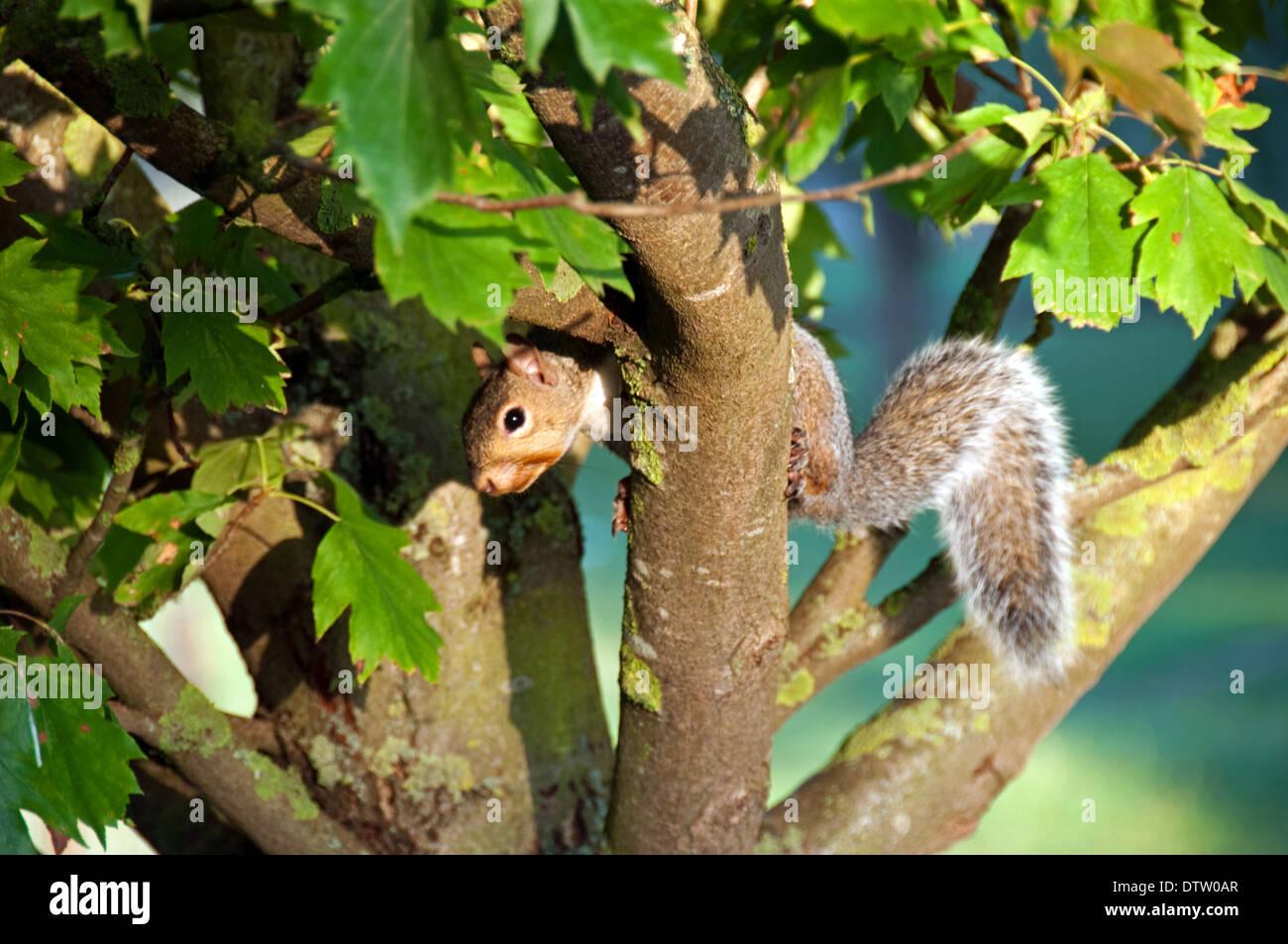 Lo scoiattolo in rami di alberi Immagini Stock