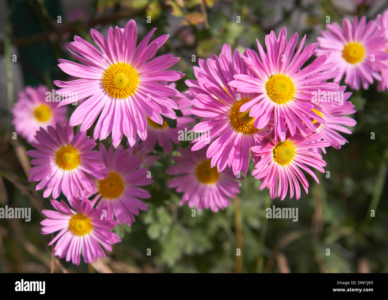 Fiori Autunnali.Fiori Autunnali Immagini Fiori Autunnali Fotos Stock Alamy