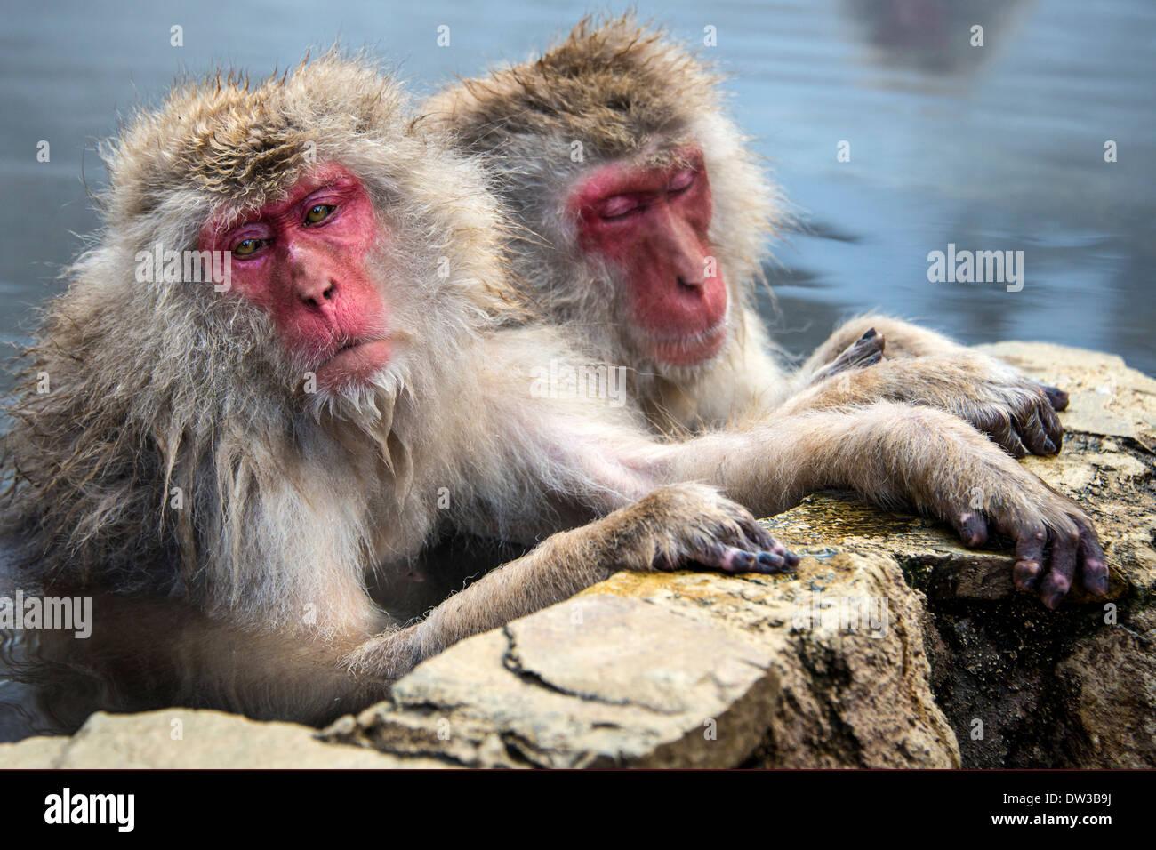Neve giapponese scimmie in Nagano, Giappone. Immagini Stock