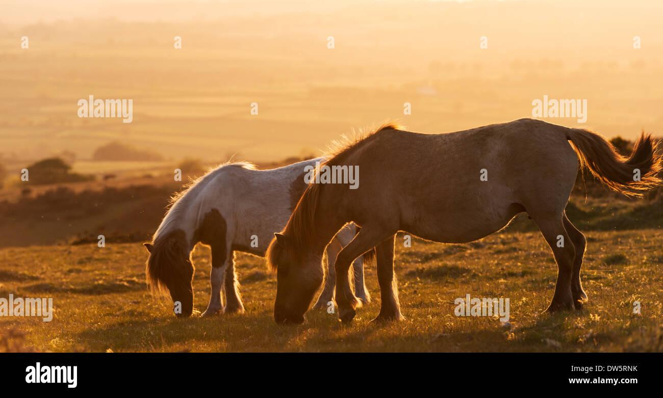 Dartmoor pony pascolano sulla brughiera, Parco Nazionale di Dartmoor, Devon, Inghilterra. Per il periodo estivo Immagini Stock