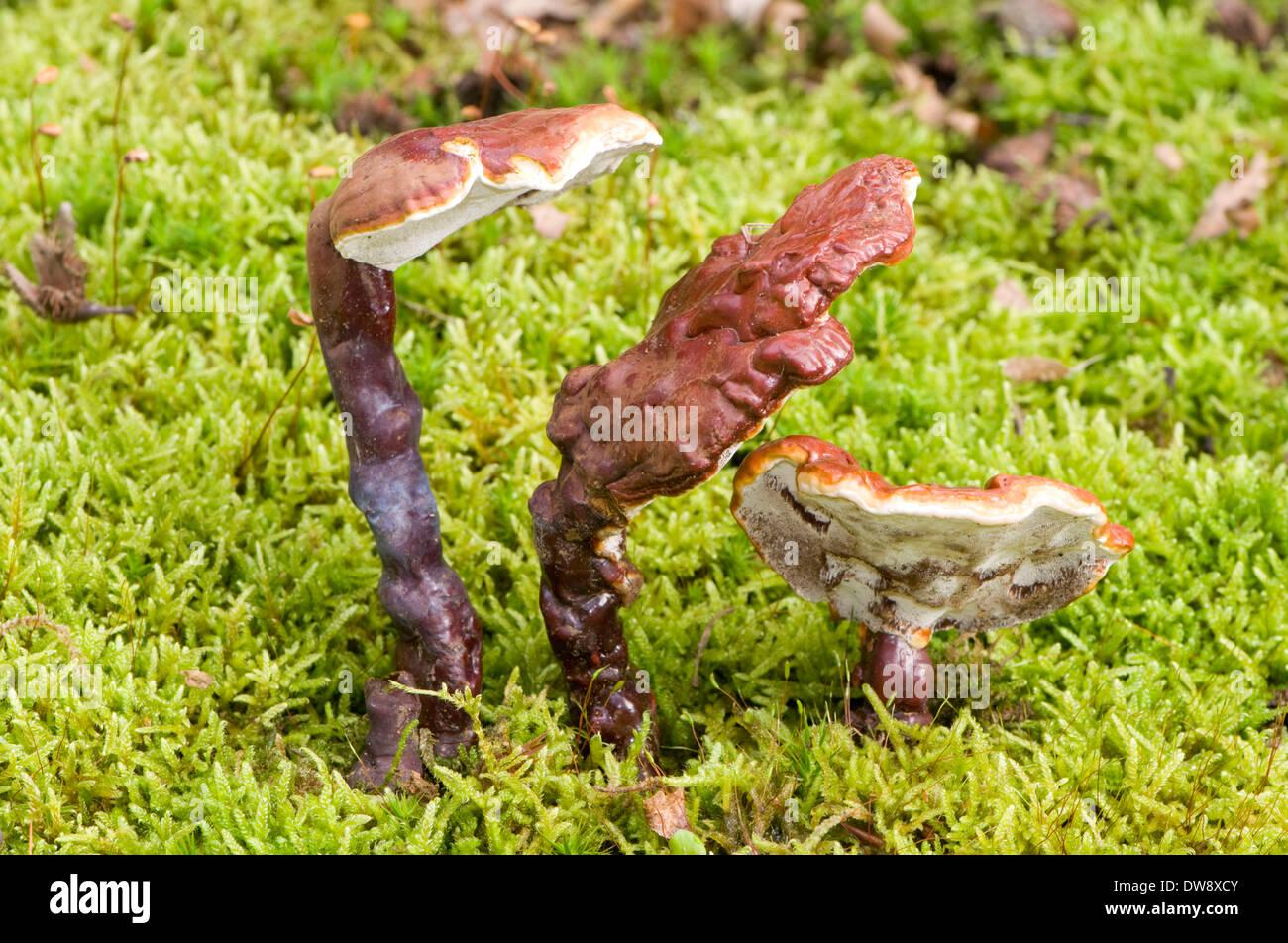 Fungo Reishi Mushroom Foto Stock