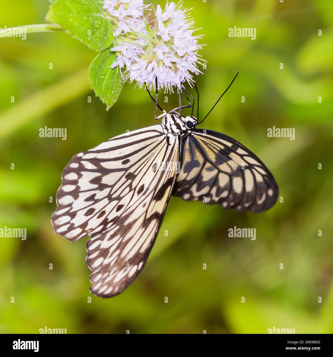 Un Idea leuconoe farfalle tropicali Immagini Stock