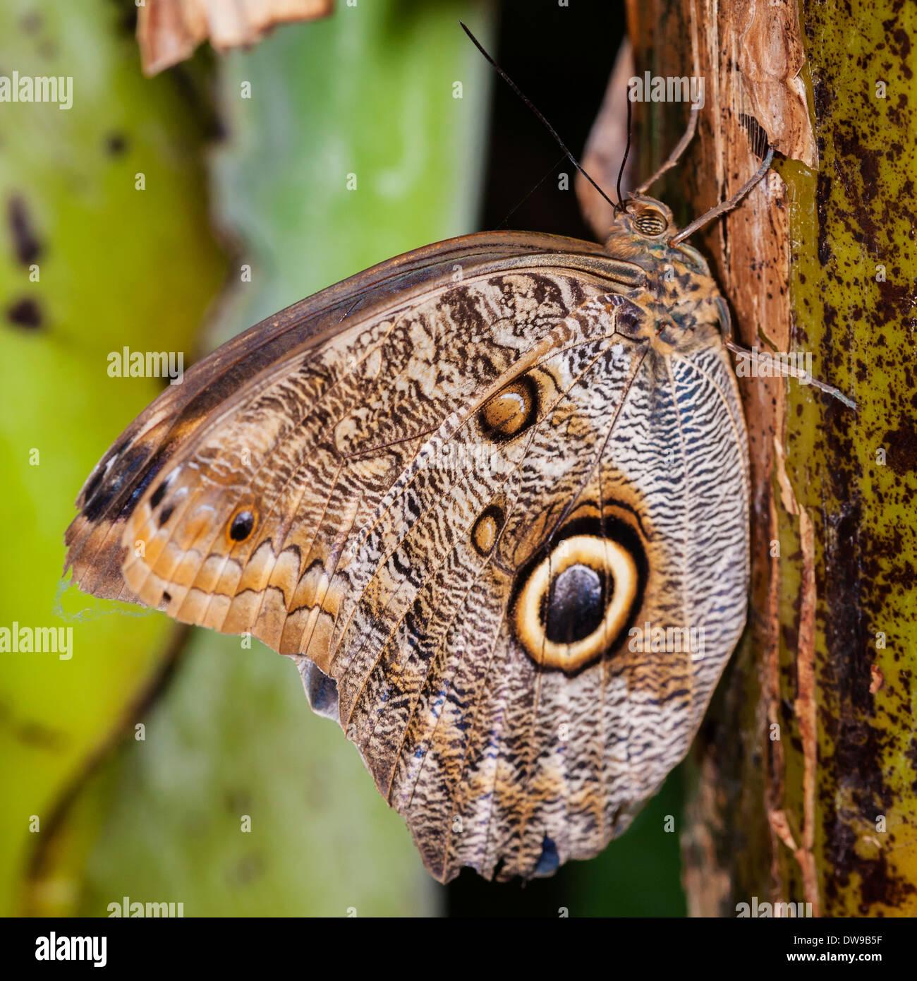 Una farfalla civetta Caligo atreo farfalle tropicali Immagini Stock