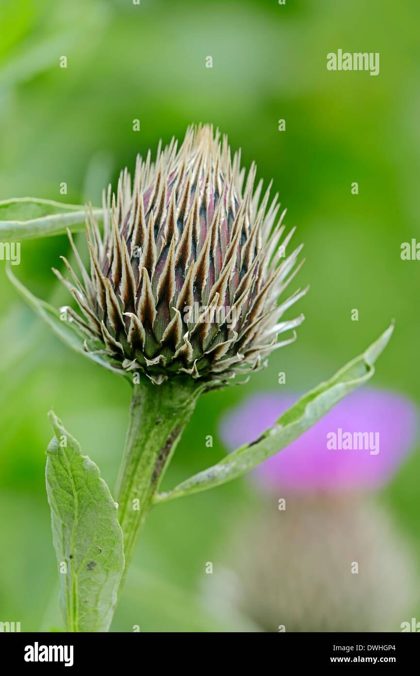 Rosa laurea pulsante (Centaurea pulcherrima) Immagini Stock
