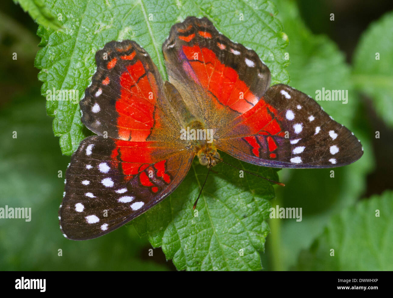 Red Anartia butterfly, Tobago Immagini Stock