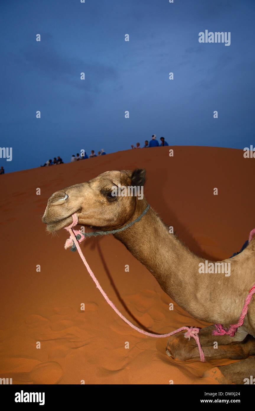 Il Cammello di appoggio. Erg Chebbi. Il deserto del Sahara. merzouga. Marocco Foto Stock