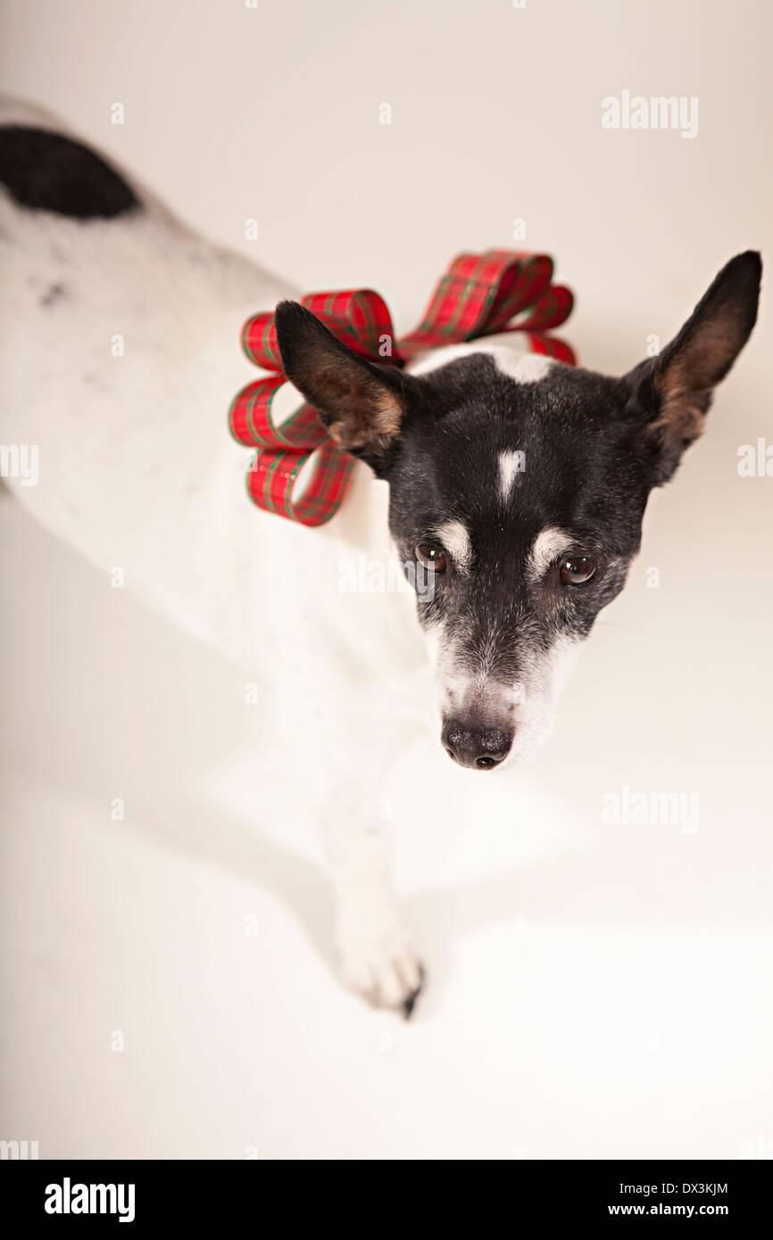 Bianco E Nero Cane Con Natale Collare Di Prua Su Sfondo Bianco Ad