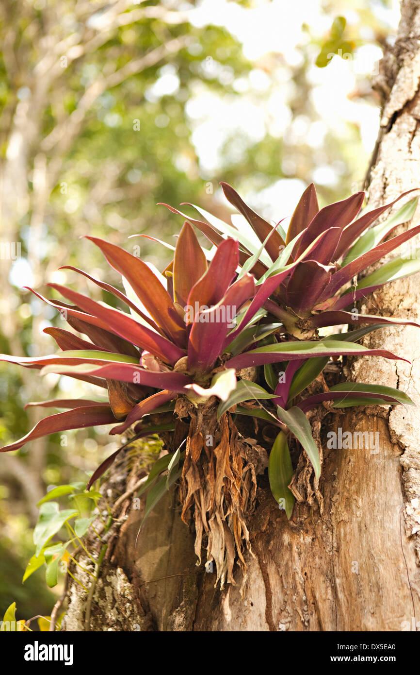 Tropical piante succulente crescente da corteccia di albero Foto Stock